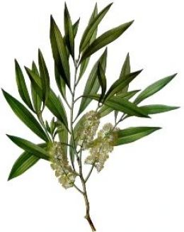 tea-tree-oil-hair